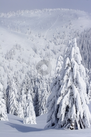 Pine trees stock photo, Winter landscape by Mark Yuill