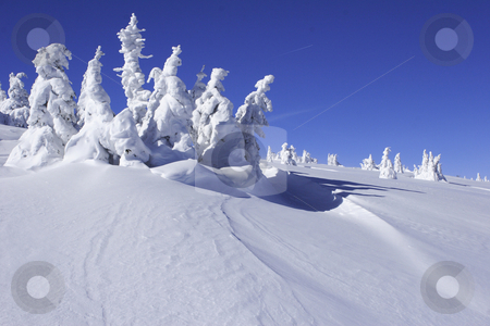 Snow covered pine trees with snow drift stock photo, snow covered pine trees in snow drift by Mark Yuill