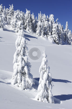 Snow covered pine trees on mountain side stock photo, Snow covered pine trees on mountain side by Mark Yuill