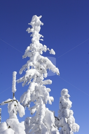 Firtree and blue sky stock photo, Fir tree covered in snow by Mark Yuill