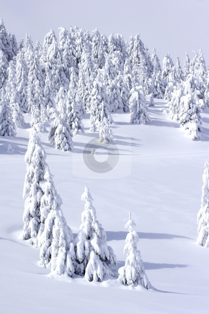 Pine trees in winter stock photo, Pine trees in winter on mountain by Mark Yuill