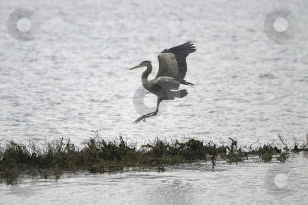 Grey Heron  stock photo, A Grey Heron lands on some overgrown plants along the shore bank by Jesse Beals