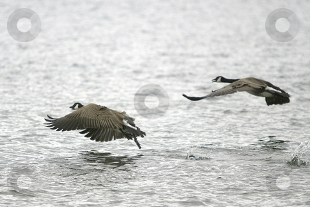 Two Canadian Geese stock photo, March 16, 2004 : Two Canadian Geese take flight off the shore bank of Lions Park in Bremerton, Washington. by Jesse Beals