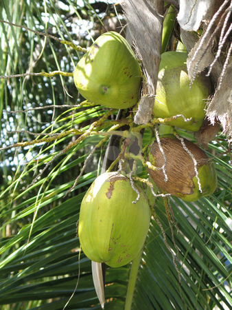 Green coconut in a tree stock photo, Green coconut in a tree by Mbudley Mbudley