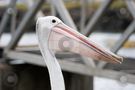 Pelican stock photo, Pelican head shot by Nicholas Rjabow