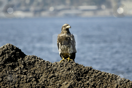 Golden Eagle perched stock photo, February 26, 2004 : A young Golden Eagle could be scene resting on a barnacle filled rock in Port Orchard, Washington. by Jesse Beals