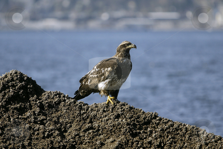 Golden Eagle sitting stock photo, February 26, 2004 : A young Golden Eagle could be scene resting on a barnacle filled rock in Port Orchard, Washington. by Jesse Beals