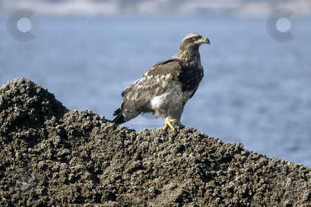 Golden Eagle resting stock photo, February 26, 2004 : A young Golden Eagle could be scene resting on a barnacle filled rock in Port Orchard, Washington. by Jesse Beals