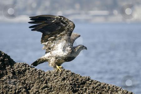 Golden Eagle getting ready for takeoff stock photo, February 26, 2004 : A young Golden Eagle could be scene resting on a barnacle filled rock in Port Orchard, Washington. by Jesse Beals