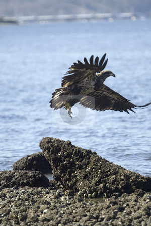 Golden Eagle flying stock photo, February 26, 2004 : A young Golden Eagle takes flight after resting on a the beach in Port Orchard, Washington. by Jesse Beals