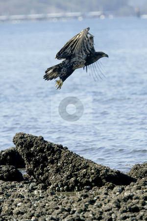 Golden Eagle landing stock photo, February 26, 2004 : A young Golden Eagle takes flight after resting on a the beach in Port Orchard, Washington. by Jesse Beals