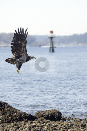 Golden Eagle taking off stock photo, February 26, 2004 : A young Golden Eagle takes flight after resting on a the beach in Port Orchard, Washington. by Jesse Beals