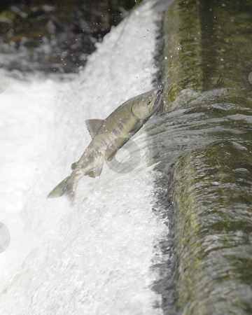 Chum Salmon Run stock photo, November 15, 2004:  Chum Salmon attempt to make their way up the Chico Creek fish ladder during the late November Salmon run in Chico, Washington. by Jesse Beals