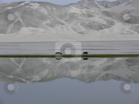 Mirrored Yaks stock photo, Yaks are mirrored in the lake as they traverse a strip of green in front of Kumtagh, the great sandy mountain in Xinjiang, Western China by Martin Darley