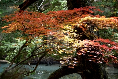 Sunlight on Maple stock photo, Dappled sunlight strikes a young Japanese maple in its Autumnal colours. Kamikochi, Nagano Prefecture, Japan. by Martin Darley