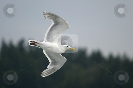 Seagull  stock photo, July 17, 2008 :  A Seagull follows behind the Washington State Ferry in hopes of getting fed pop corn from riders riding the boat from Bremerton to Seattle, Washington. by Jesse Beals