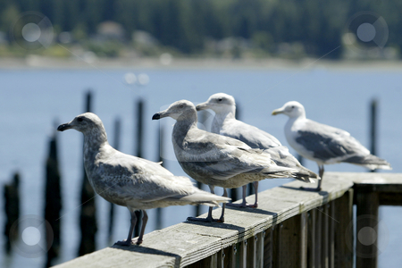 Flock of Seagulls  stock photo, June 16, 2004 :  a flock of Seagulls rest together along the railing of the Silverdale dock in Silverdale, Washington.  The dock has been known to be a resting point for water birds in the area. by Jesse Beals