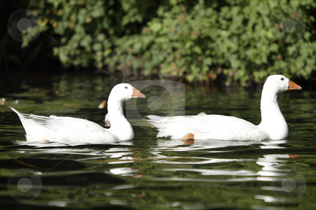 White Geese stock photo, July 6, 2004 :  White Geese could be seen swimming through the lilly pads of Wild Cat Lake  in Seabeck, Washington. Geese come back every spring and summer and make home on this lake. by Jesse Beals