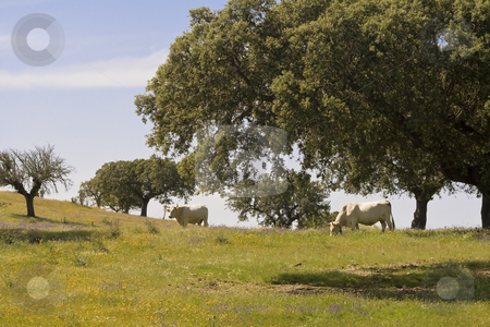 Spring landscape stock photo, Two cows in a green field in Alentejo, Portugal by Paulo Resende
