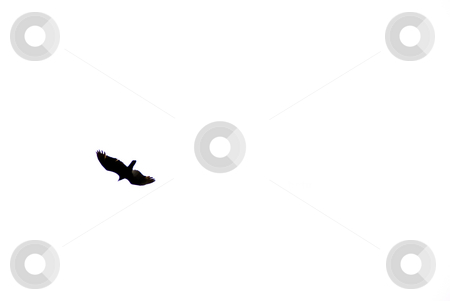 Eagle stock photo, An eagle soaring through the afternoon sky. by Robert Byron