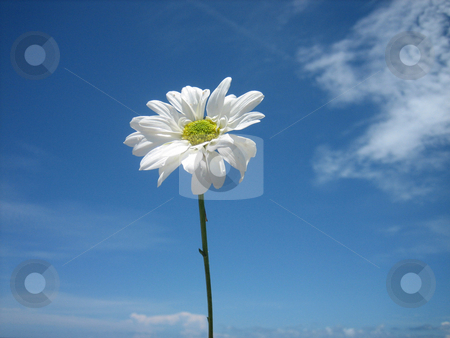 Daisy in the sky clouds stock photo, Daisy at the beach, in the sky with clouds by Tom Falco