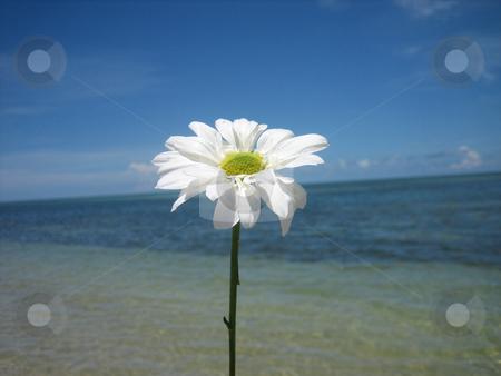 Daisy stock photo, Daisy at the beach by Tom Falco