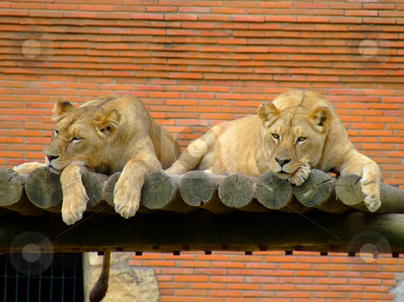 Two female lions stock photo, Two female lions in the zoo by Paulo Resende