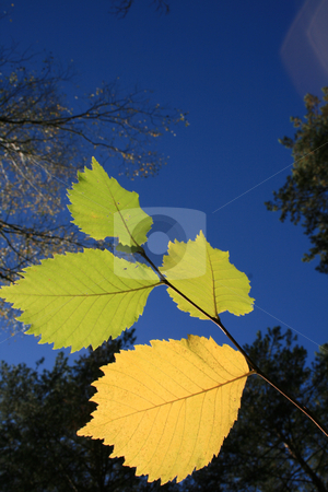 The yellow folios against a sky background. stock photo, The yellow folios against a blue  sky and trees  background. by Viachaslau Barysevich