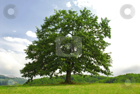 Oak on green hill stock photo, Single branchy green old oak on green meadow by Julija Sapic