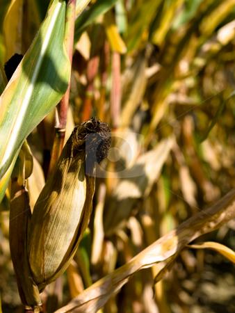 Closeup of a drying corn crop stock photo, Closeup of a drying corn crop by Laurent Dambies