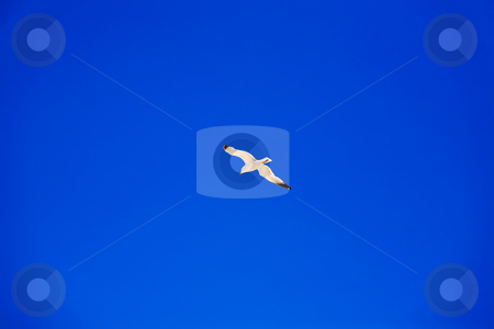 Seagull flying in blue sky stock photo, Seagull flying in blue sky by Vitaly Sokolovskiy