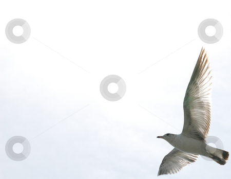 Seagull flying stock photo,  by Liane Harrold