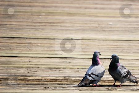 Two pigeons stock photo,  by Liane Harrold