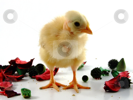 Baby chicken  stock photo, Baby chicken portrait by Paulo Resende
