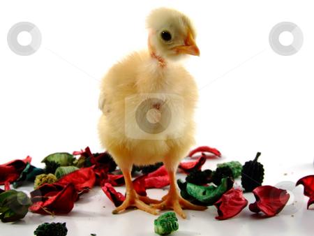 Baby chicken  stock photo, Baby chicken portrait by Paulo Resende