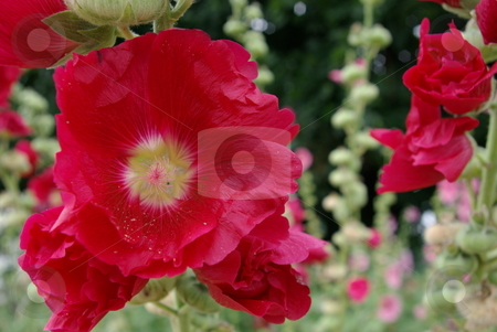 Bright Red Hollyhock Blooms stock photo, Common on farms and countrysides, Hollyhocks (Alcea rosea) are a perennial that offer great background color in a flower garden or as a stand alone flower garden.  Hollyhocks are available in a variety of colors and grow up to 6-7 feet tall with blooms 3-5 inches in diameter.. by Dennis Thomsen