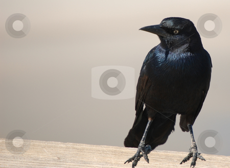 Crow stock photo,  by Liane Harrold