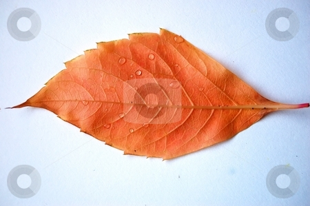 Leaf stock photo, A brown leaf, simple background, water drops, daylight, no flash used by Lars Kastilan