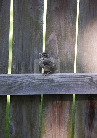 Baby Birdie stock photo, Baby robin on a wooden fence by Liane Harrold