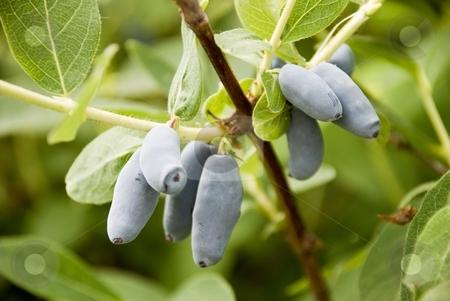 Blue Honeysuckle stock photo, Forest blue Honeysuckle is very good for healthy by Larisa Chernysheva