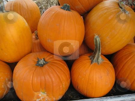 Pumpkins stock photo, Pumpkins by Tom Falco