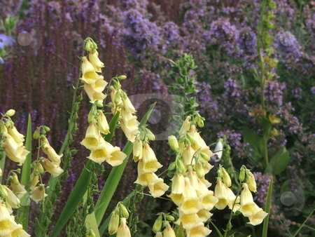 Yellow Foxglove Flowers stock photo, A clump of yellow Foxglove (digitalis) flowers brighten a city park garden on the shore of Lake Superior in Duluth, MN.  Allergy sufferers can enjoy this flower as it has no scent. by Dennis Thomsen
