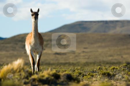 Guanaco (Lama guanicoe) in Patagonia, southern Argentina. stock photo, Guanaco (Lama guanicoe) in Patagonia, southern Argentina. by Pablo Caridad