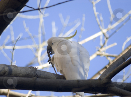 Sulphur crested cockatoo stock photo, An australian wild cockatoo sharpening his beak by Stephen Gibson