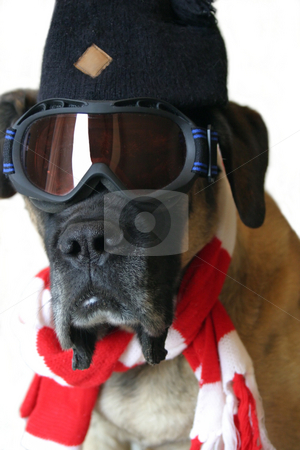 Snow Dog stock photo, An English Mastiff in ski goggles and a red and white scarf ready for snow. by Great Divide Photography