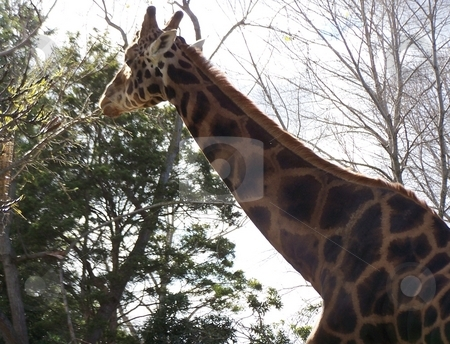 Giraffe in the sun stock photo, A giraffe in the Melbourne Zoo stretching up to eat some leaves. by JKJ Anderson