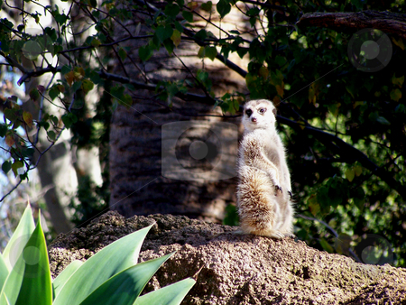 Lone meerkat stock photo, This little guy posed or me at the Melbourne Zoo. by JKJ Anderson