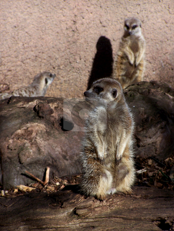 Group of Meerkats stock photo, A whole crowd of posing meerkats from the Melbourne Zoo. by JKJ Anderson