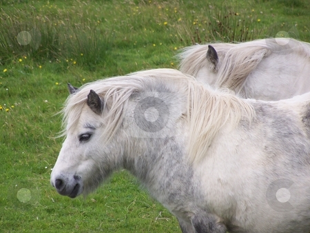 Shetland Ponies, Orkney stock photo, These two Shetland ponies posed for me on a farm on Hoy, Orkney. by JKJ Anderson
