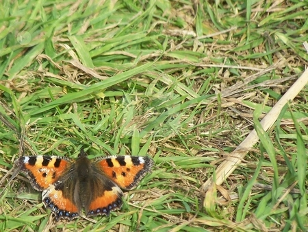 Butterfly on the Orkneys stock photo, This guy was on Mainland, hanging out near Neolithic ruins. by JKJ Anderson